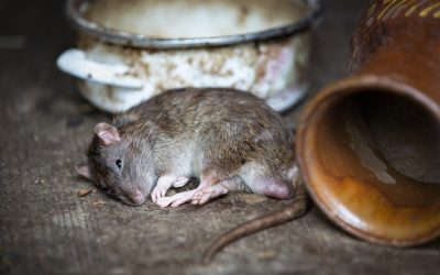 7 Signs you have Rats or Mice